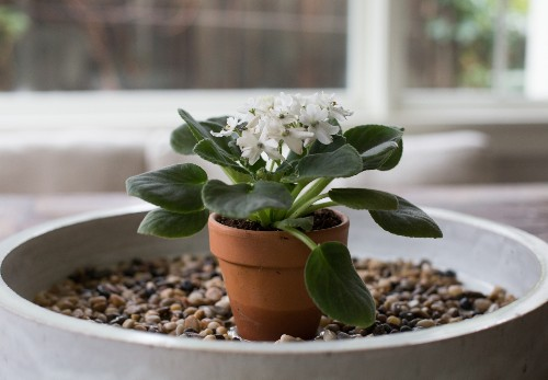 African Violets: Rethinking 'America's Favorite House Plant' for Modern Times