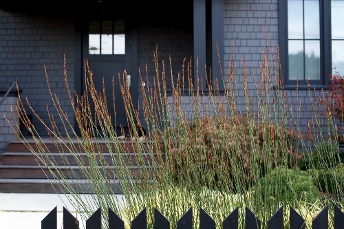 Gardening 101: Cape Rush Grass