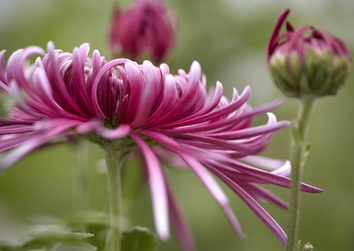 Chrysanthemums: Rethinking a Fast-Food Flower