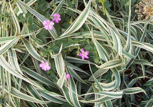 Gardening 101: Ribbon Grass