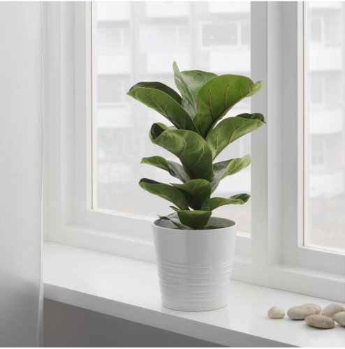 10 Things Nobody Tells You About Fiddle-Leaf Fig Trees