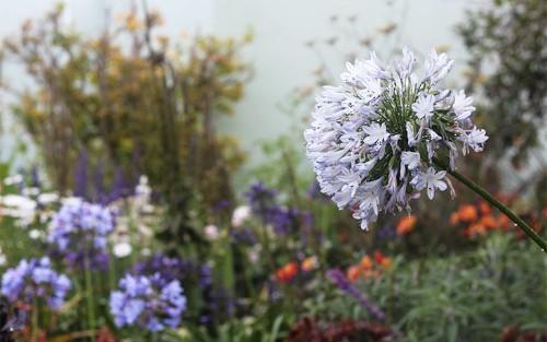 Gardening 101: Agapanthus