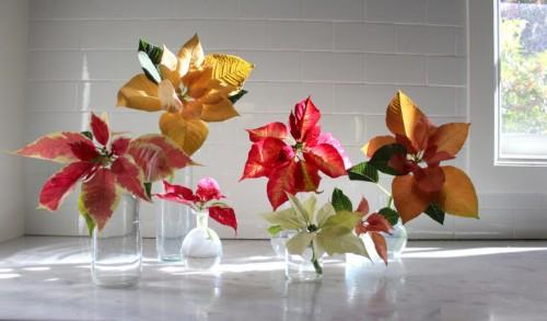 Poinsettias: Rethinking a Christmas Cliché