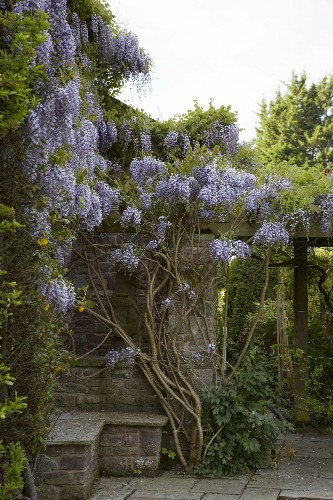 Wisteria: How to Make It Flower