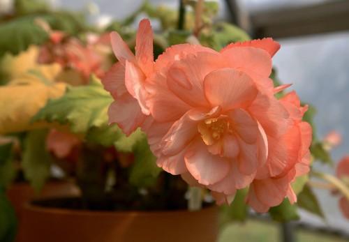 Gardening 101: Tuberous Begonias