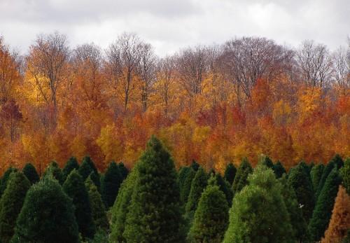 Gardening 101: Scots Pine Tree