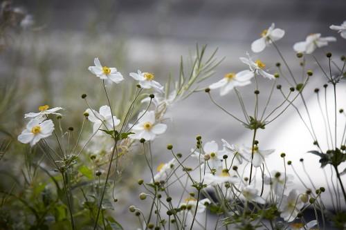 Gardening 101: Japanese Anemones