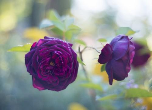 Gardening 101: Roses