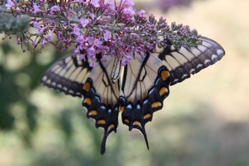 Native Plants: 10 Alternatives to Invasive Garden Invaders - Gardenista