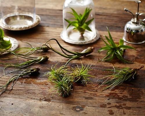 Gardening 101: How to Water an Air Plant - Gardenista