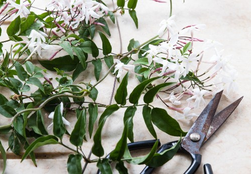 Rethinking Jasmine: The Perfect Vase for a Fragrant Flowering Vine