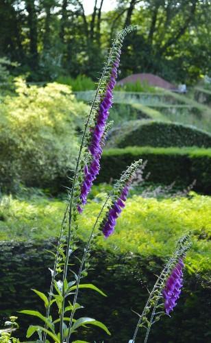 Gardening 101: Foxglove