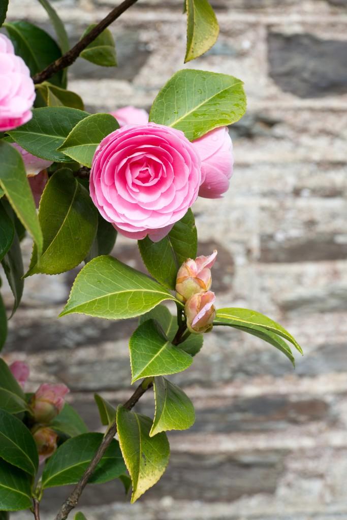 Landscaping Ideas: The Case for Camellias - Gardenista