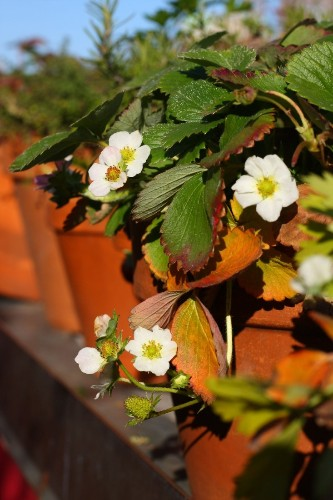 Tiny Gardens: 66 Square Feet for Alpine Strawberries in NYC