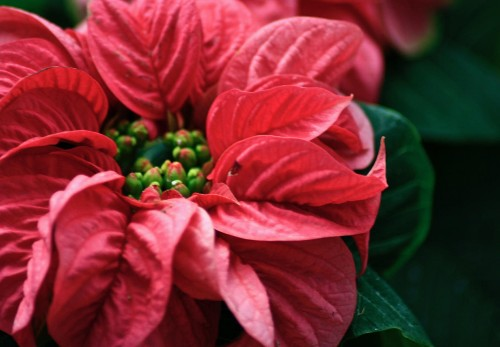 10 Things Nobody Tells You About Poinsettias