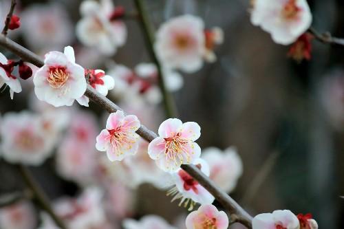 Gardening 101: Plum Trees