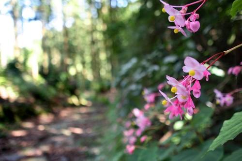 Gardening 101: Hardy Begonia - Gardenista