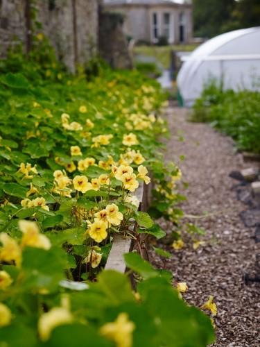 Gardening 101: Nasturtium