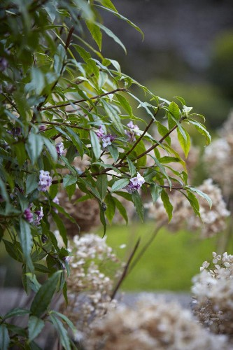 Gardening 101: Daphne