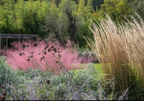 Pink Grasses: 11 Ideas for Muhlenbergia in a Landscape
