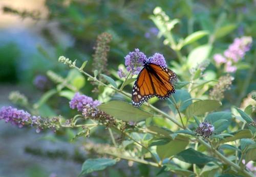 Gardening 101: Butterfly Bush
