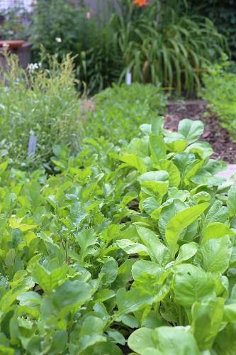 Gardening 101: Arugula