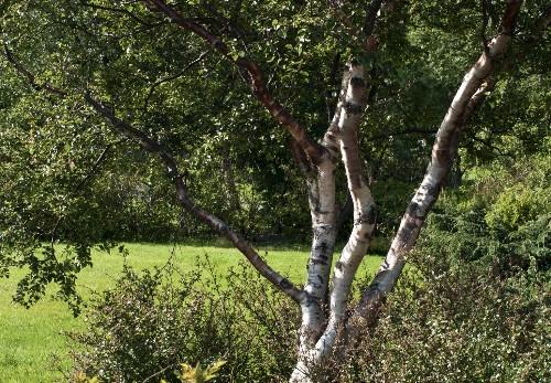 Gardening 101: Birch Tree