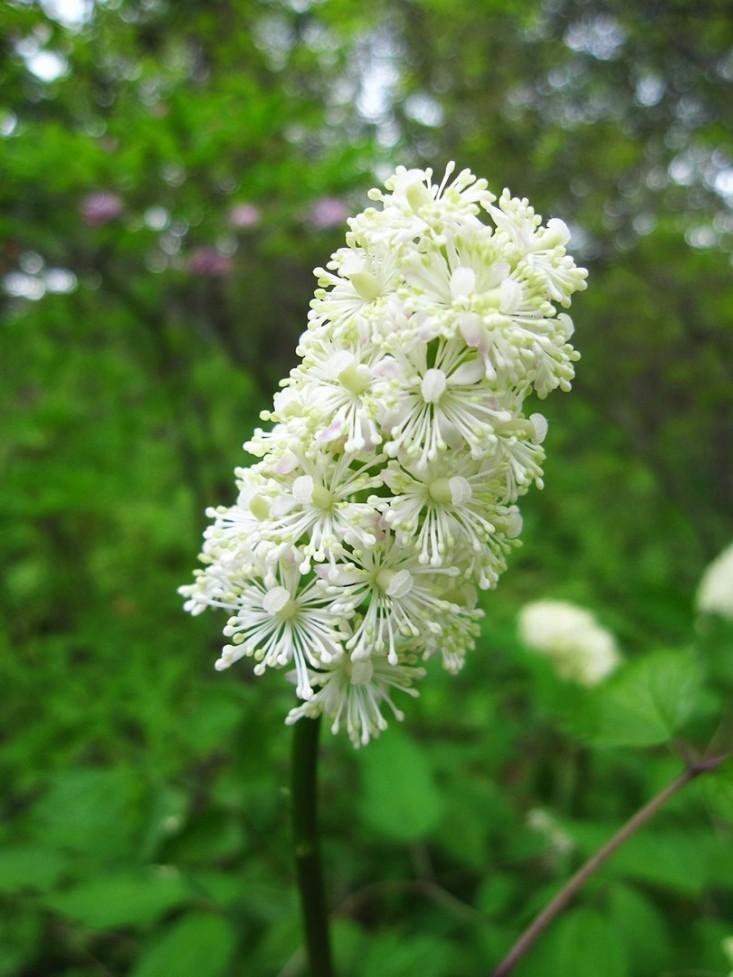 Native Perennials for a Shade Garden: 9 Favorites for Cold Climates - Gardenista