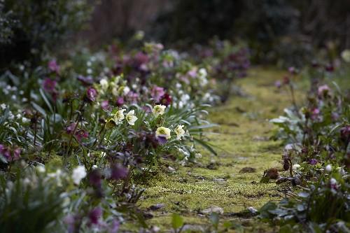 Gardening 101: Hellebore