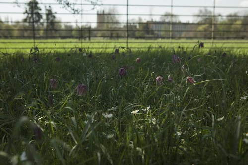 English Gardens: The Wild Fritillary Meadows at Oxford University