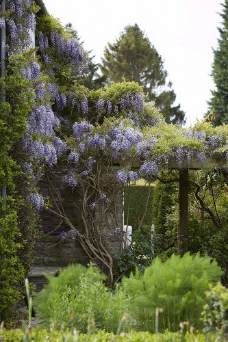 DIY: Train a Wisteria Vine Not to Eat the House