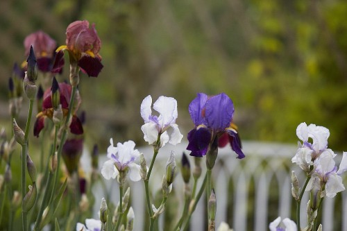Bearded Irises: A Lost Generation of Flowers Has a Moment
