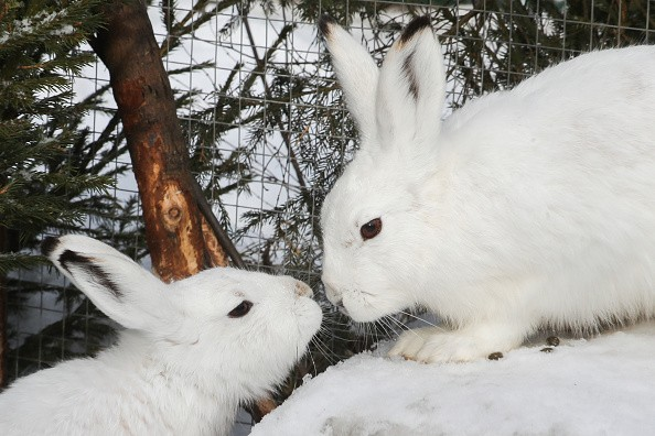 White hares in Dom Zaitsa [Hare's Home], a rescue centre for wild...
