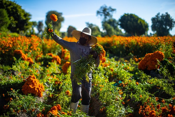 A man cuts cempasuchil flowers during a walk around a cempasuchil...