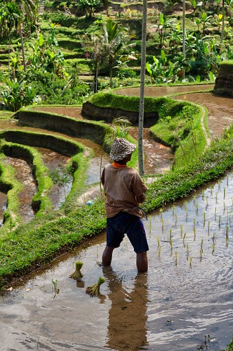 Ubud, Bali Island, Indonesia, August 7, 2019 :A rice farmer works in...