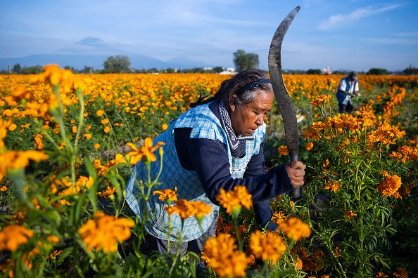A woman cuts flowers during a walk around a cempasuchil flower sown...