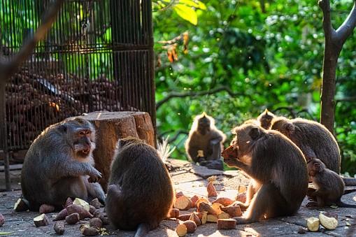 Ubud, Bali Island, Indonesia, August 7, 2019 : A group of monkeys...