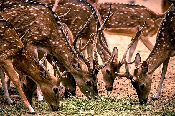 A group of Whitetail Deer is seen at the zoo in Culiacan, Sinaloa...