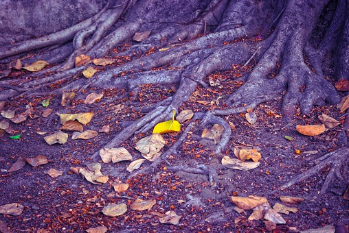 Roots of a tree with fallen autumn leaves.