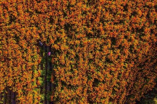 Aerial view while a man works cutting cempasuchil flowers during a...