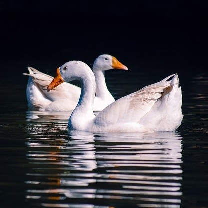 Domestic white geese relaxing in a pond