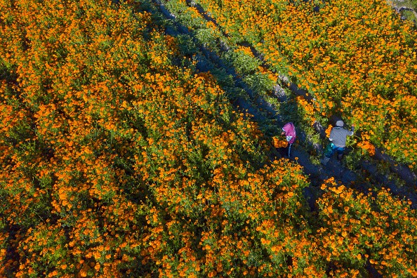 Aerial view while people work cutting cempasuchil flowers during a...