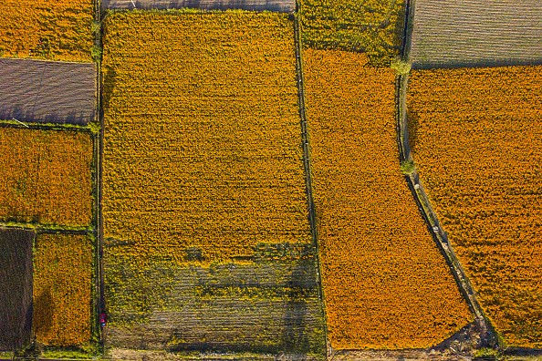 Aerial view of flower fields during a tour around a cempasuchil...