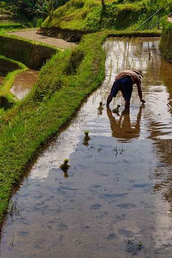 Ubud, Bali Island, Indonesia, August 7, 2019 :A rice farmer plants a...
