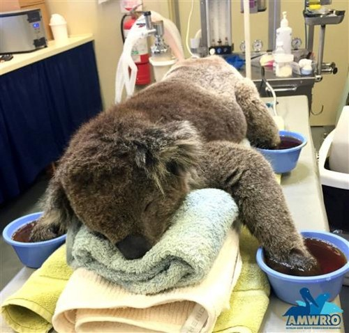 Koalas Need Mittens to Protect Burned Paws in Australia