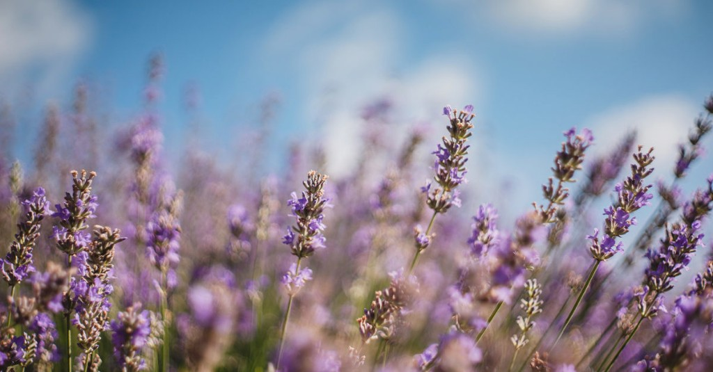 4 Health Benefits of Lavender Tea