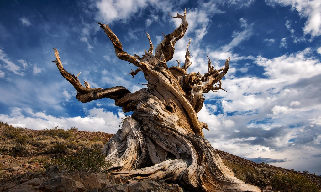 The Methuselah tree and the secrets of Earth's oldest organisms