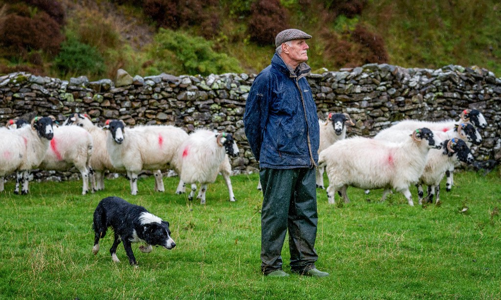 'Un-managing the land': sheep make way for trees in Cumbria's uplands