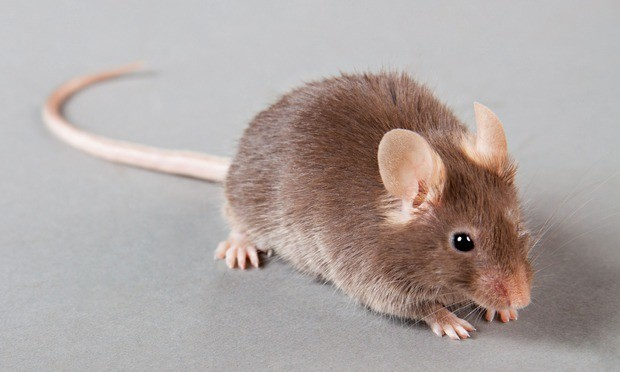 Mind-control device lets people alter genes in mice through power of thought