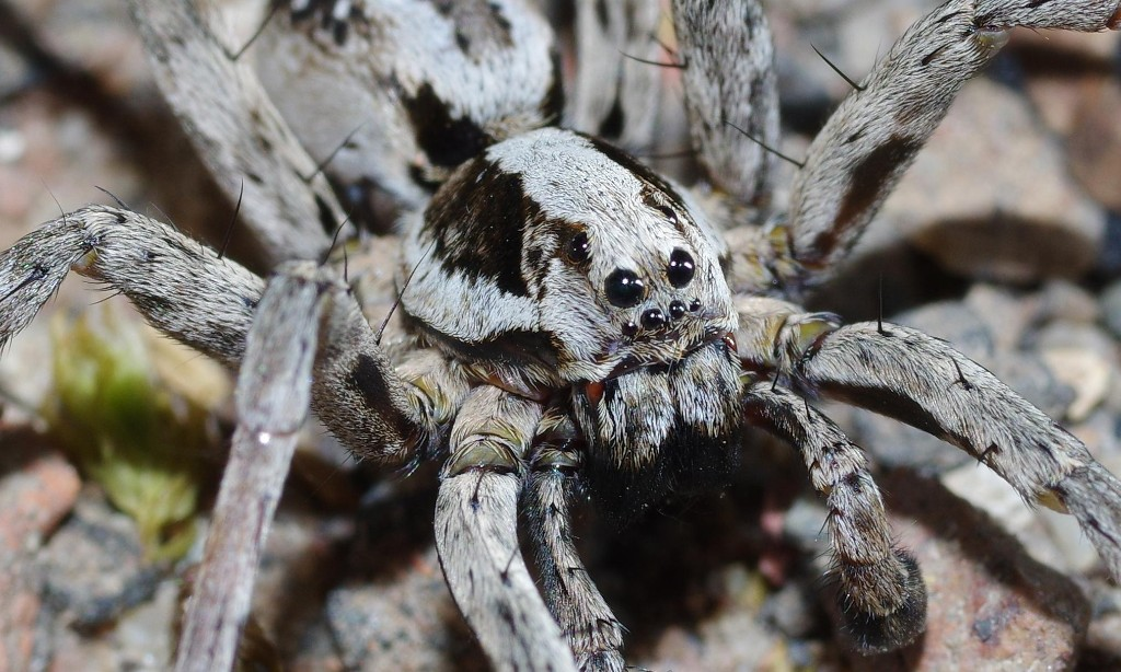 Huge spider assumed extinct in Britain discovered on MoD training site